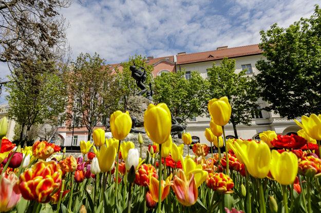 Kačacia fontána na Šafárikovom námestí v Bratislave obklopená rozkvitnutými tulipánmi.