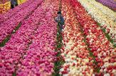 Tulipány v plnej kráse. V záhradách, parkoch aj na poliach