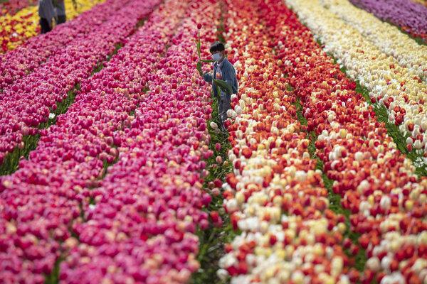Sedemročný Mars s ochranným rúškom trhá tulipány na tulipánovej  farme v kanadskom meste Abbotsford v provincii Britská Kolumbia.