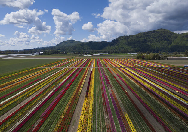 Pohľad na tulipánové polia v Britskej Kolumbii.