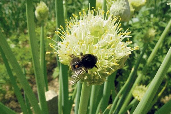K cudzoopelivým druhom zeleniny patrí aj cibuľa, na snímke je odroda Maďarská.
