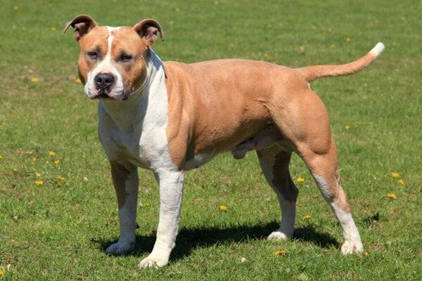 Americký staford je temperamentný pes ako stvorený pre silové bull športy.