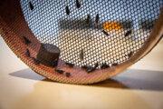 V Bratislave chovajú približne 200-tisíc múch tse-tse. Samčekov sterilizujú a vypúšťajú do prírody v afrických krajinách s cieľom zbaviť sa spavej choroby.