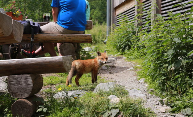 Tatranská chata má nových obyvateľov líšťa a jej mamu líšku.