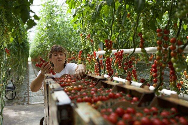 Pestovanie paradajok na farme Oremus.