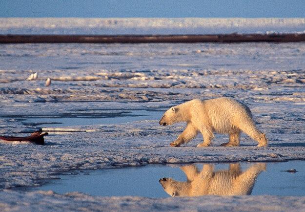Medveď biely v národnej rezervácii na Aljaške.