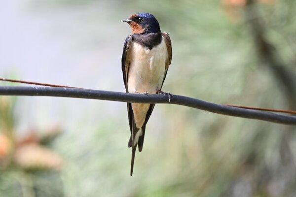Na snímke lastovička obyčajná (lat. Hirundo rustica) sedí na drôte v Trnave