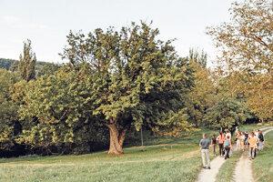Zicháčkova oskoruša v Bielych Karpatoch má vyše 350 rokov.