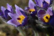 Soločenská hodnota jedného kvetu je 400 eur.