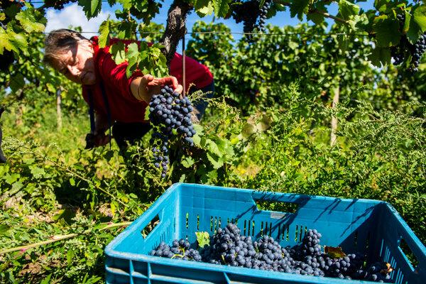 Zber hrozna vo viniciach PD Vinohrady v Rači.