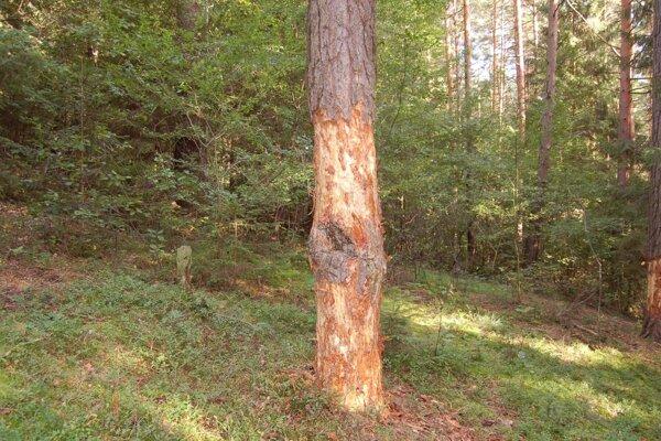 Zničili viac ako sedemnásť borovíc