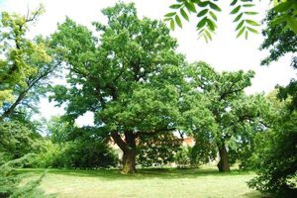 Dub letný. Má 350 rokov a rastie v parku v Želiezovciach.