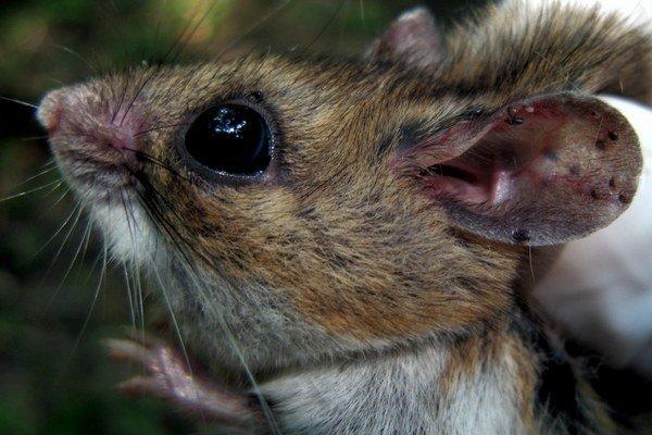 Myši míny jednoducho vyčuchajú.