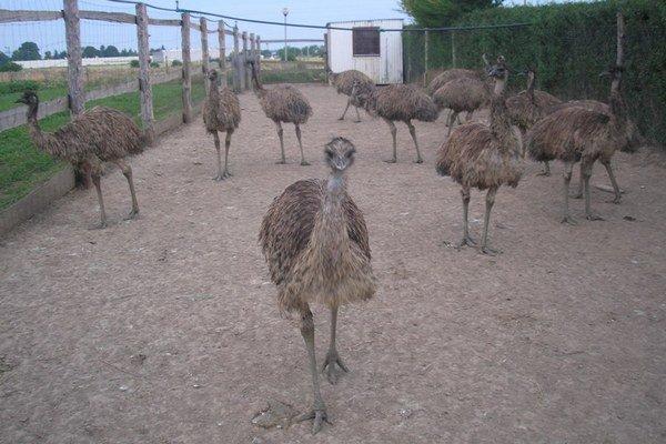 Chov emu je vraj nenáročný, zožerú všetko to, čo sliepky.