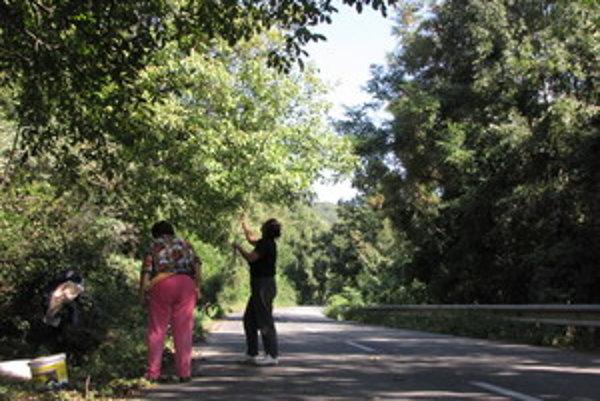 Ľudia potrebujú na zber orechov pri cestách povolenie.