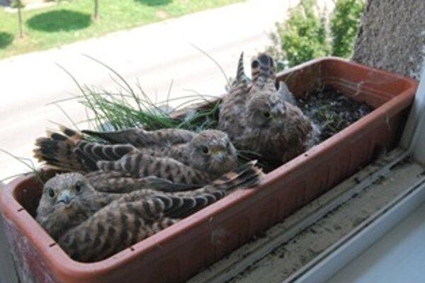Na okno bytovky sa po roku opäť nasťahoval párik sokolov