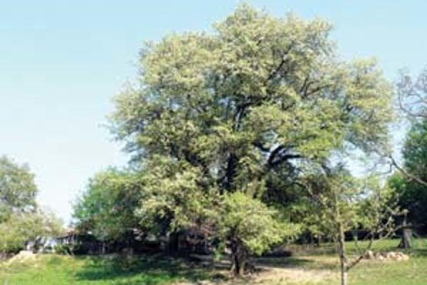 Strom roka - hruška planá z Bošáce.
