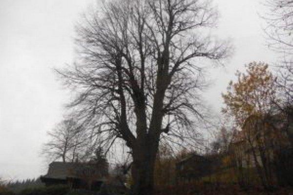 Zaujímavosťou je aj lipa na Grúni, ktorej obvod kmeňa je okolo 6 metrov.