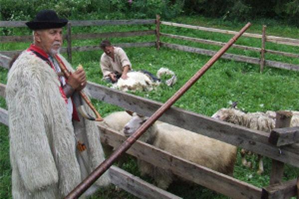 Strihanie. Ovce sa musia strihať dvakrát do roka. Strihanie každoročne predvádzajú aj v kysuckom skanzene vo Vychylovke.