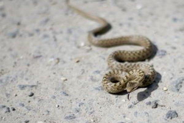 V Kysuckej nemocnici v Čadci zaznamenali toto leto dvanásť uhryznutí hadom.