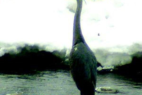 Volavka pripomína aj bociana, takisto si rada postojí na jednej nohe.