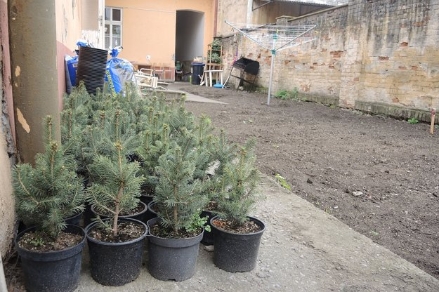 Stromčeky pripravené na sadenie.