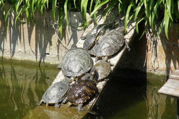 Korytnačky z univerzitného bazéna sa vyhrievajú na slnku.