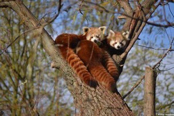 Pandy červené.