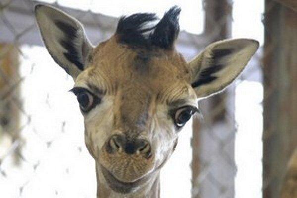 Malý žirafiak zatiaľ nemá meno.