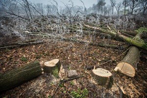 Vyrúbané stromy na Kolibe v decembri minulého roku.
