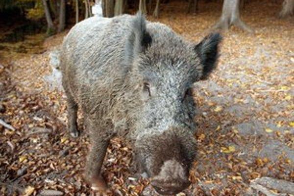 Na spoločnej poľovačke budú loviť najmä diviaky, ktoré sú tento rok v Bratislave premnožené.