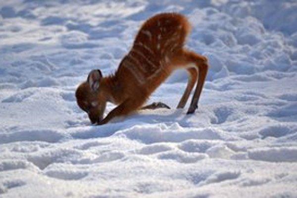 Sitatunga západná je druh antilopy, v bratislavskej zoo sa nedávno narodili dve mláďatá. V zoo na snehu.