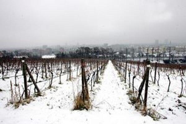 Vinohrady v zime viackrát skúšal mráz.