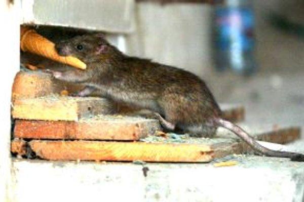 Opustené domy sú pre potkany rajom.