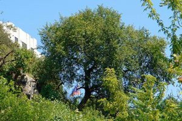 Čerešňa mahalebková, (Prunus mahaleb L.)rastie na Žižkovej ulici pod hradným bralom. Má asi 100 rokov. Táto mahalebka sa na Hradnom brale uchytila náhodne, ako náletová drevina. To, že dokázala na takomto extrémnom mieste prežiť, je symbolom jej život