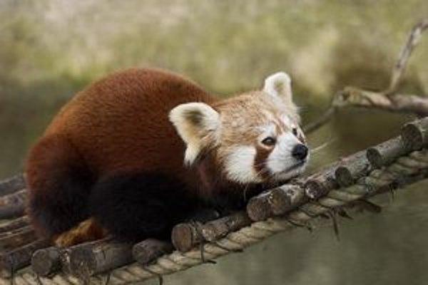 Pandu červenú začína chovať ako prvá na Slovensku Zoo Bratislava.