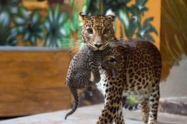 Leopardie mláďatá matka úzkostlivo chráni,návštevníci zoo ich uvidia o niekoľko týždňov, keď sa odvážia do výbehu.