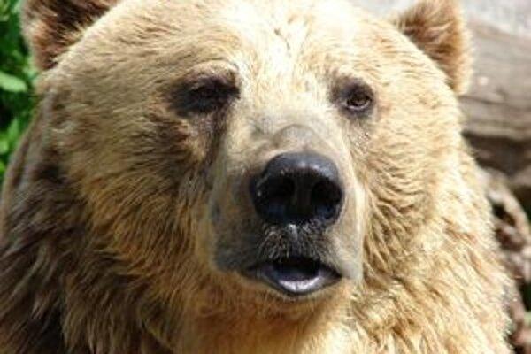 Názory ochranárov a poľovníkov sa v súvislosti s premnožením medveďov rozchádzajú.