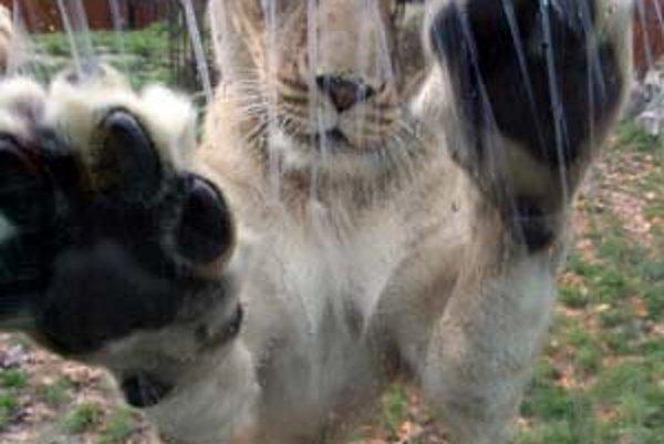 Na niektorých návštevníkov bratislavskej zoo pôsobí správanie šeliem depresívne, aj keď sú v novom pavilóne. Medvede ostávajú v starom niekoľko desiatok rokov.