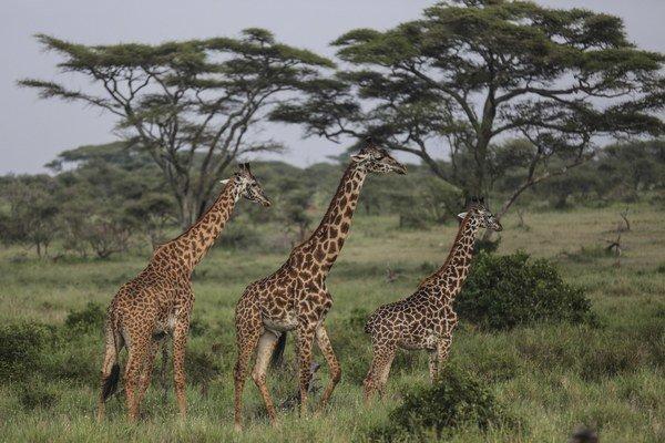 Žirafy v Národnom parku Serengeti.