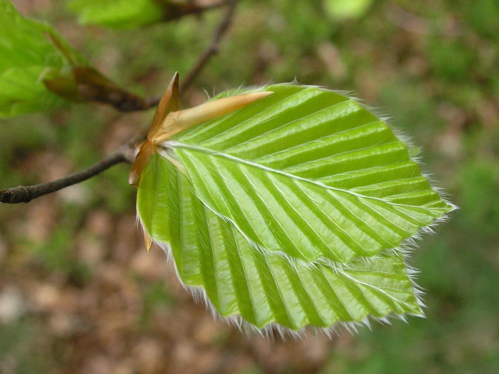 Buk lesný (Fagus sylvatica) - mladé bukové listy sú kyselkavé a príjemne osviežujúce. Buky spoznáme podľa hladkej striebornej kôry a chĺpkov na kraji lista. Naklíčené bukové listové puky a neskôr aj mladé listy sú plné vitamínov a výborným spestrením každého šalátu alebo smoothie. Výborné listy majú aj lipy, bresty, hlohy a šípky.