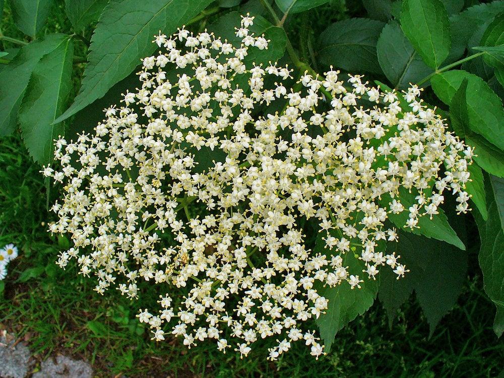 Baza čierna (Sambucus nigra) - má sladké kvety, ktoré deti rady objedávajú. Sú skvelé aj ako macerát vo vode, bežne sa z nich robia sirupy. Baza obsahuje množstvo zdraviu prospešných látok, pomáha krvnému obehu, chráni cievy a tíši zápaly. Jemné bledé kvietky tvoria súkvetia a majú mierne citrónovú a zároveň peľovo sladkú chuť. Treba ich zaliať vodou a nechať pol dňa stáť. Pol dňa, deň, dva, niekedy aj štyri, ale potom je nápoj už skvasený. Nie je to zlé ani pokazené, len niekto to také nemá rád.