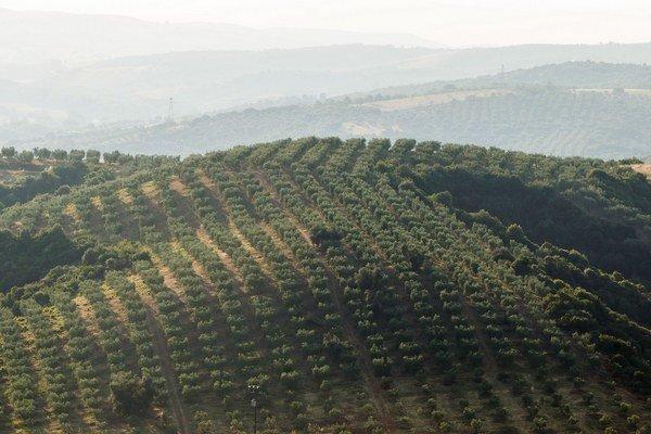 Gréci z Chalkidík sú na svoje obrie olivy hrdí. Najradšej ich jedia len tak ako tapas.
