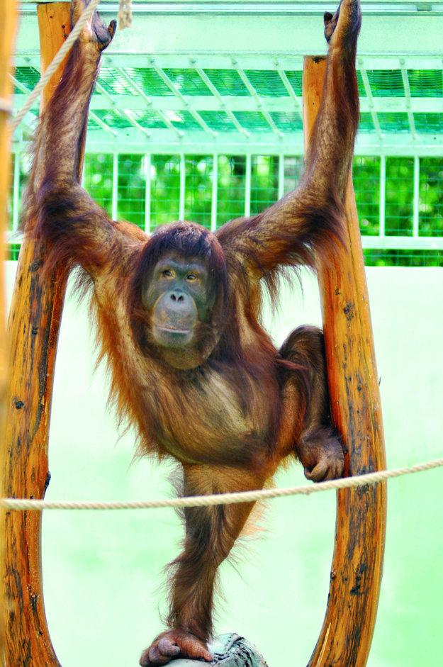Orangutan bornejský v Spišskej Novej Vsi