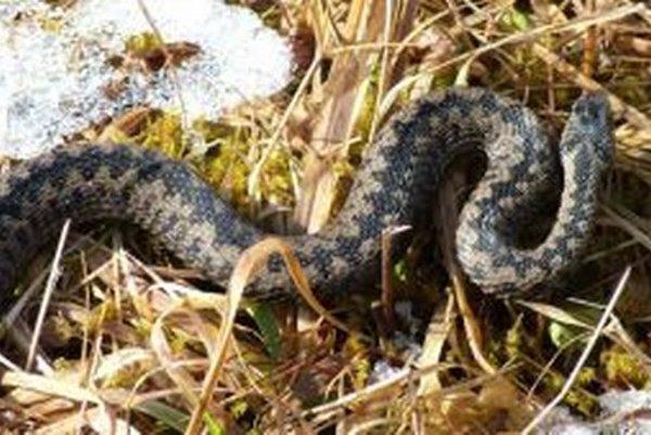 Vretenica je najrozšírenejším hadom sveta  a na Slovensku  najjedovatejším.