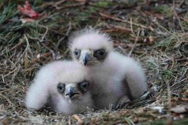Keď je orlíča maličké, matka ho chráni pred predátormi, snehom, dažďom, zohrieva ho a starostlivo kŕmi potravou, ktorú do hniezda nosí samec.