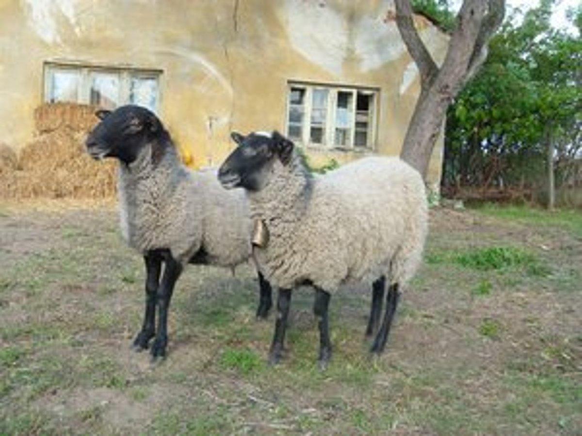 f5e24fd811a Namiesto kosačiek kosia trávu ovce a kozy - mylevice.sme.sk