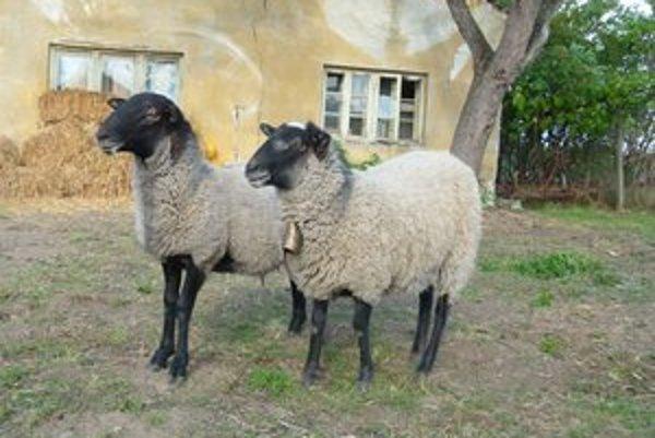 Obecné priestranstvá spásajú ovce a kozy.