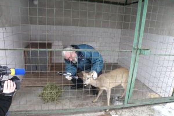 Srnčeka, ktorý pobehoval po levickej pešej zóne, vyšetril veterinár.