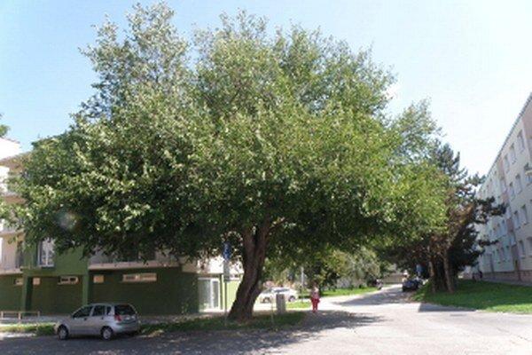 Moruša biela zo Senice skončila v ankete Európsky strom roka na 8. mieste spomedzi štrnástich.